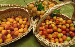 Выращивание абрикоса в Сибири и на Урале: раскроем все секреты!