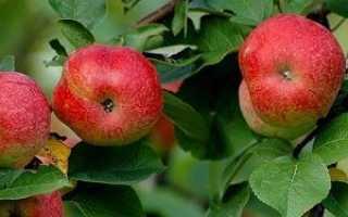 Яблоня Горнист: характеристика сорта, выращивание, агротехника