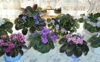 Сенполия (узамбарская фиалка): уход и выращивание в домашних условиях, решение проблем