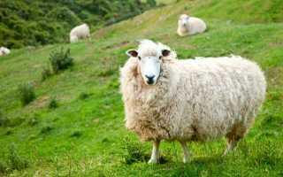 Овцеводство: с чего начать, пошаговый план
