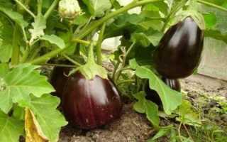 """""""Чёрный красавец"""": характеристики и особенности выращивания"""
