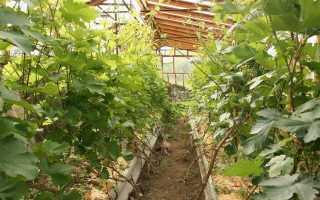Виноград в теплице – правильно высаживаем и выращиваем