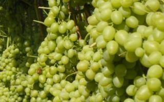 Виноград талисман – полное описание и характеристика сорта