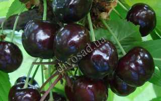 Черешня Донецкий уголек: описание сорта, выращивание, фото