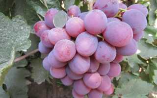 "Виноград ""Низина"" – правила посадки растения"