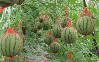 Выращивание арбузов в теплице – пошаговое руководство