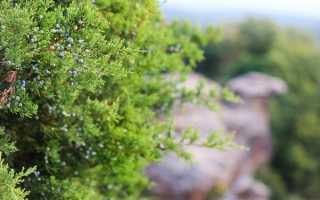 Можжевельник Высокий – описание и фото сорта + выращивание