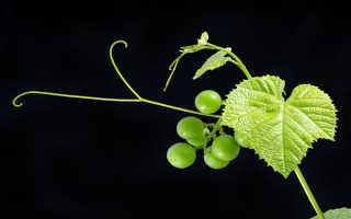 Усы винограда: зачем их нужно обрезать, когда и как это делать