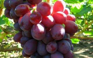 Виноград ризамат. Особенности сорта, характеристики, нюансы