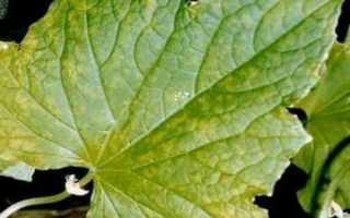 Почему желтеют листья крыжовника: все возможные причины