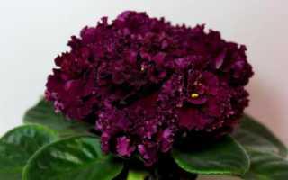 Фиалка Богема: описание, правила выращивания и ухода + фото