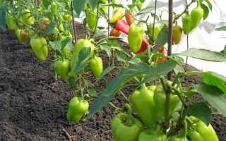 Перцы в открытом грунте – как правильно подкормить