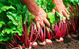 Выращивание свеклы – условия выращивания, сорта, когда сажать