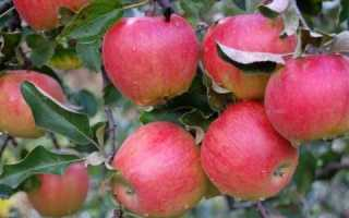 Яблоня «Черкасское урожайное»: описание и особенности сорта