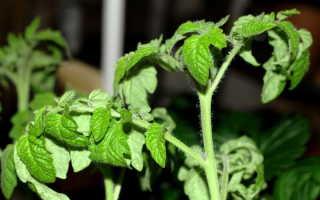 У помидор скручиваются листья: основные причины