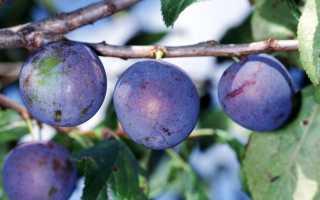 Слива «Крупноплодная Елисеева»: описание и особенности сорта