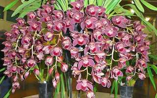 Цимбидиум – разновидность орхидеи. Описание и сорта