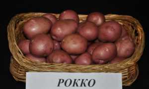 Картофель Рокко: характеристика сорта. Посадка, уход, хранение