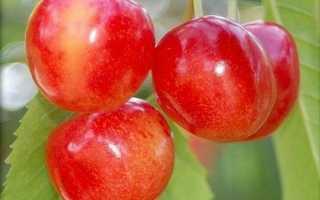 Черешня Орловская розовая: характеристика, тонкости агротехники
