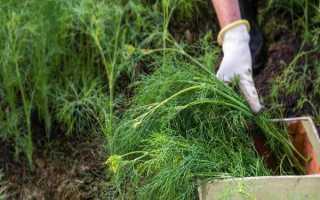 Выращивание укропа из семян – уход, условия, секреты