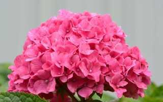 Гортензия розовая: описание, посадка, пересадка, уход + фото