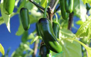 Перец Халапеньо: описание сорта, острота и выращивание