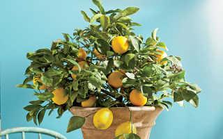 Лимон: описание, размножение и уход, разновидности + фото