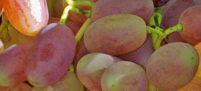 Виноград Виктор: описание сорта, фото, выращивание и уход