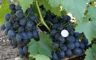 Сорт винограда Сфинкс: фото, отзывы, описание, характеристика