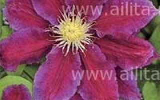 Хания – необычный сорт клематиса. Уникальные особенности цветка