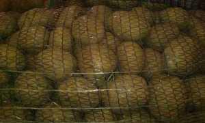 Коломбо картофель: описание сорта. Все о посадке, уборке, уходе