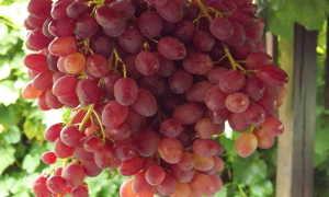 Виноград Велес: посадка и уход + подробное описание сорта