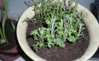 Обрезка хризантем весной