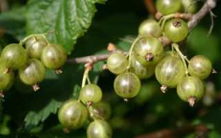 Зеленая смородина: описание сорта. Выращивание