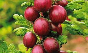 Крыжовник Каптиватор – характеристика ягоды, как выращивать
