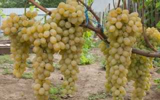 Виноград Валентина: Топ советов по выращиванию + описание сорта