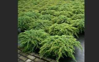 Можжевельник обыкновенный: описание, сорта, выращивание