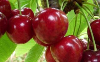 Вишня Ровесница: описание сорта, фото, высадка, уход, выращивание