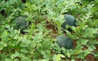 Арбуз Шуга Бейби: описание и условия выращивания