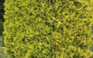 Туя Еллоу риббон: особенности этого сорта, как его выращивать