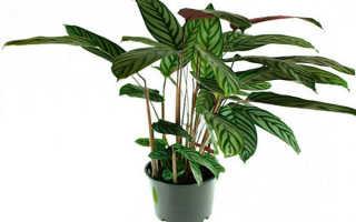 Ктенанта: описание, выращивание и уход, виды с фото и названиями
