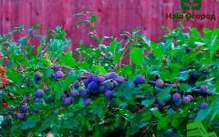 Живая изгородь из терна: возводим на своем участке