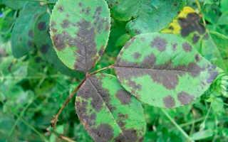 Инфекционные заболевания растений – чем опасно дождливое лето