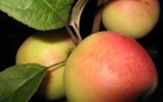 Яблоня«Кальвиль нальчикский»: описание и особенности сорта