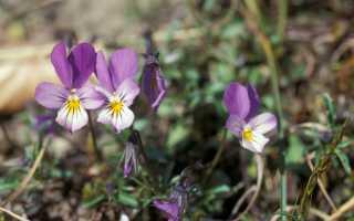Фиалка Весна: особенности, выращивание и уход + фото