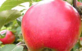 Афродита – один из лучших сортов яблок. Всё о нём