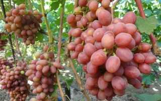 Кишмиш Лучистый – описание сорта винограда (с фото и видео)