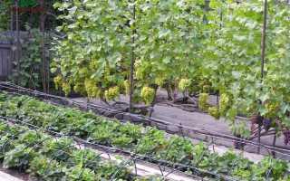 Винная ягода. Ценные советы по выращиванию крыжовника