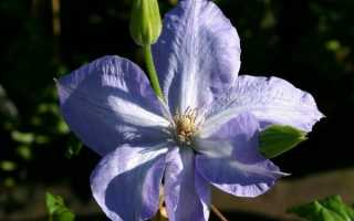 Клематис Миссис Чолмондели: описание сорта, выращивание + фото
