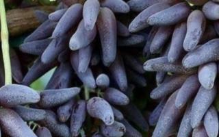 Ведьмины пальцы – советы по выращиванию сорта + описание и фото